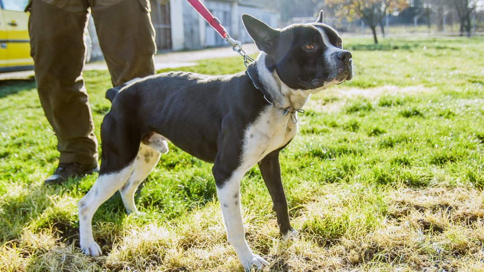 Staffordshire terrier kever�k